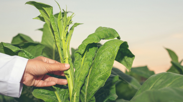 female-researcher-examined-tobacco-leaves